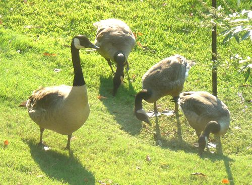 Grown goslings