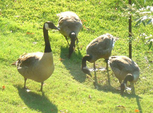 Grown goslings