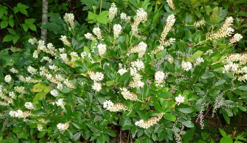 Sweet pepper bush for Low maintenance flowering bushes