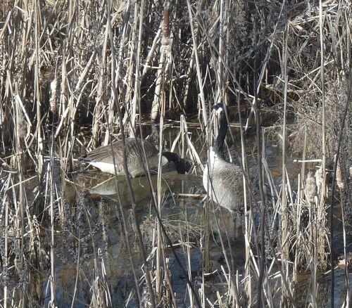 Canada goose camoflaged close up