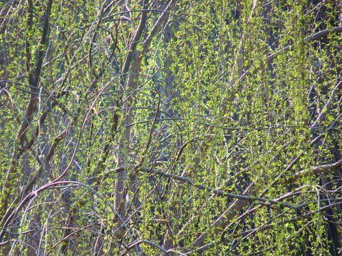 Weeping willow leaves