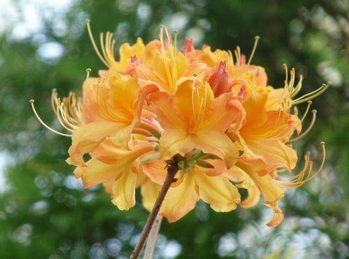 Exbury azalea