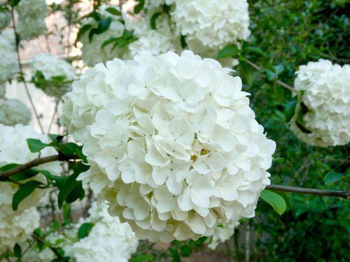 Snowball viburnum bloom