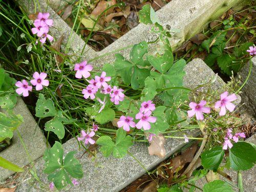 Pink oxalis
