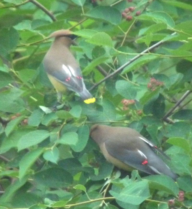 Cedar waxwings markings two birds