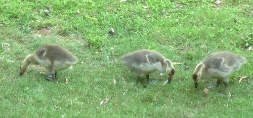 Goslings 2  week 3
