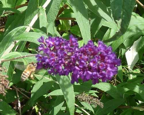 Purple butterfly bush with bee