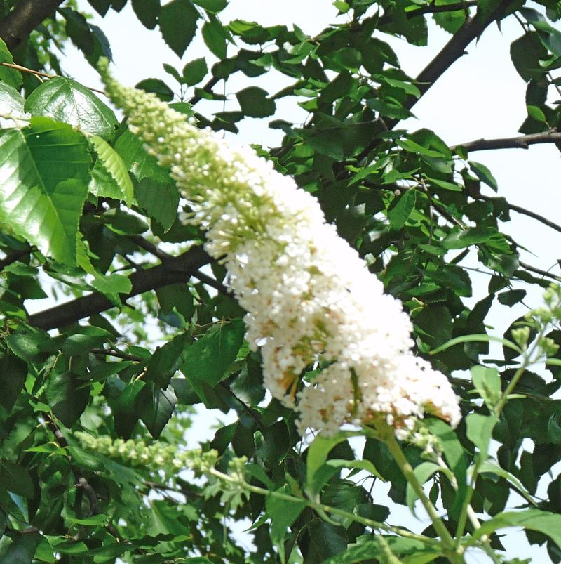 White butterfly bush