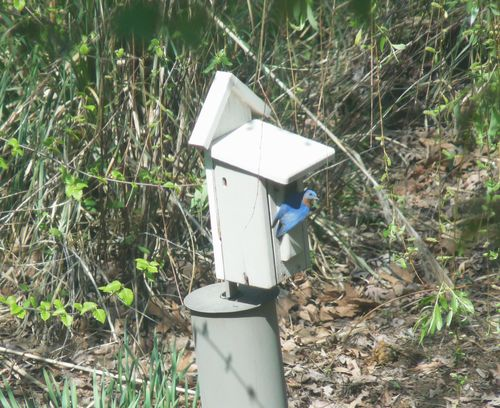 Bluebird on house