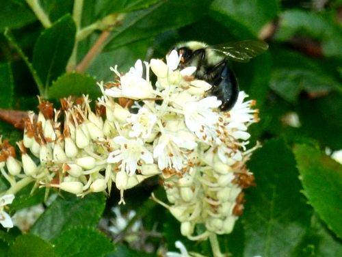 Sweet pepper bush and bee