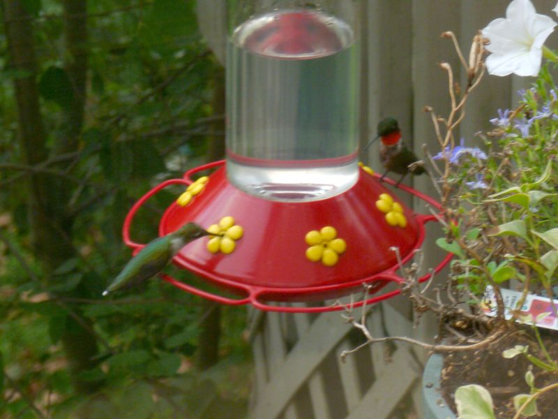 Two hummingbirds