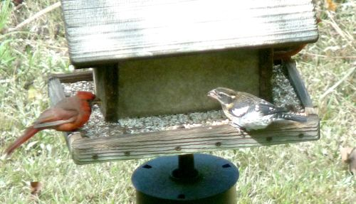 Grosbeak and cardinal