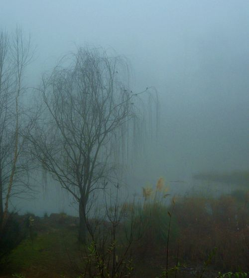 Willow in fog 2