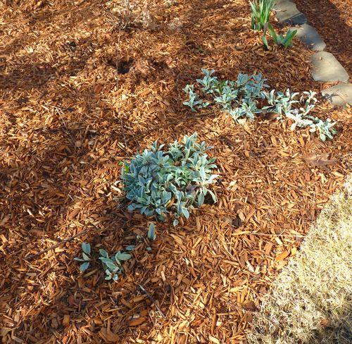 Spring cedar mulch