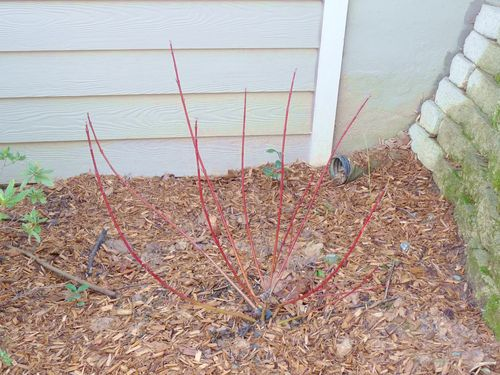 Spring red twig dogwood
