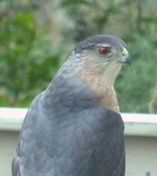 Coopers hawk 2