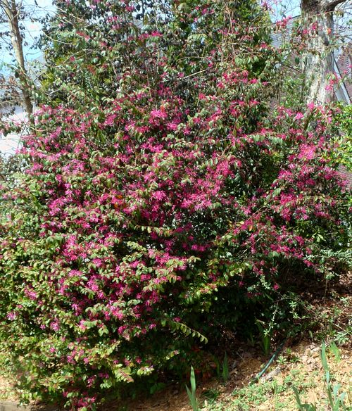 Loropetalum shrub