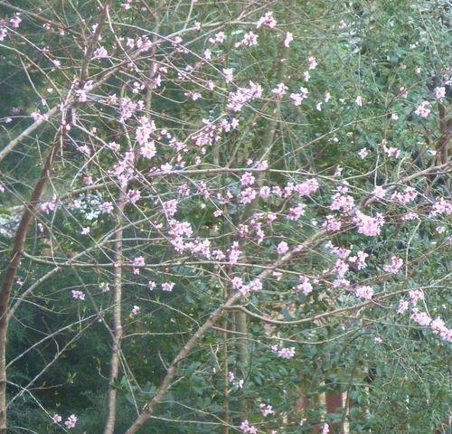 Peach tree 2013