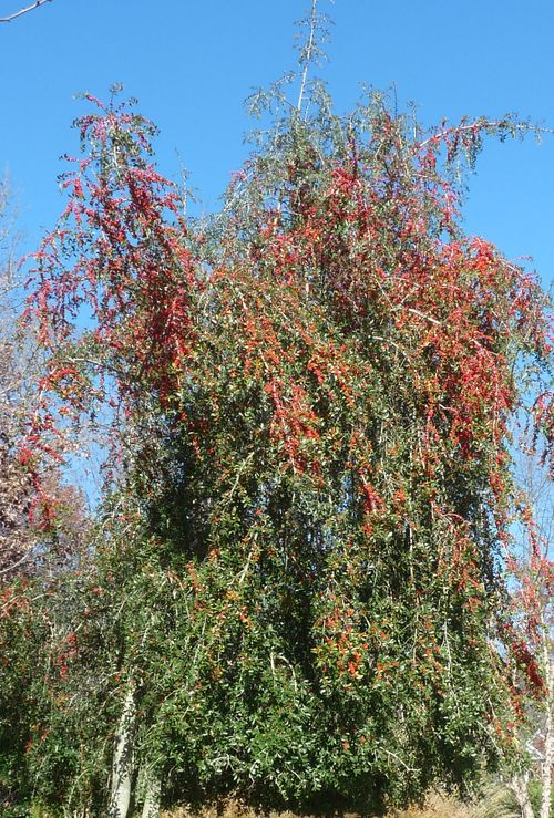 Yaupon holly tree 2