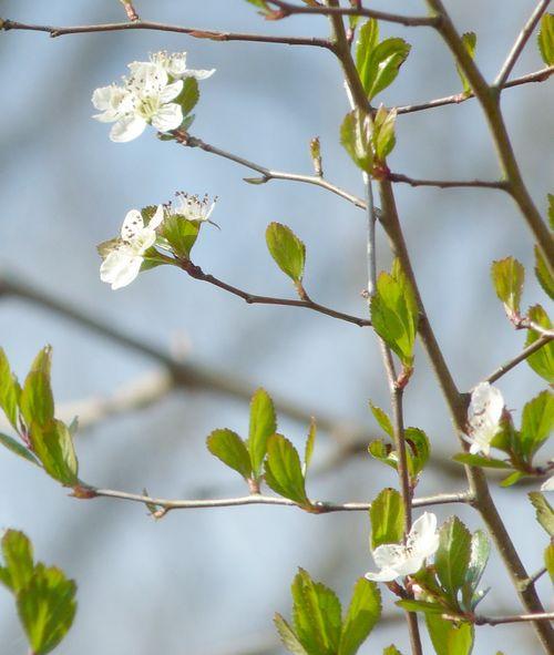 Mayhaw flowers