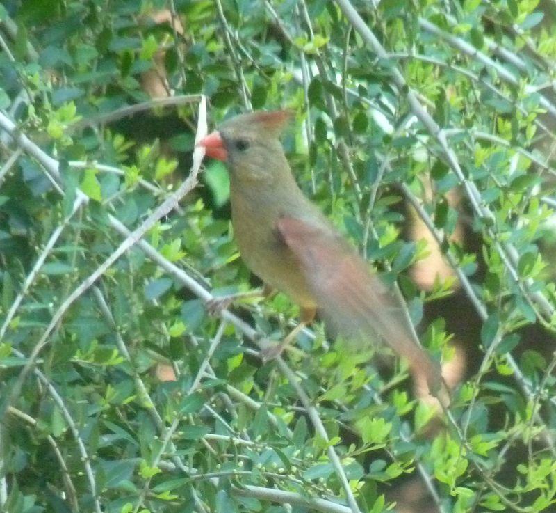 Cardinal with stick