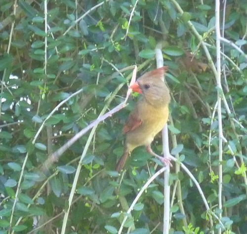 Cardinal with stick 2