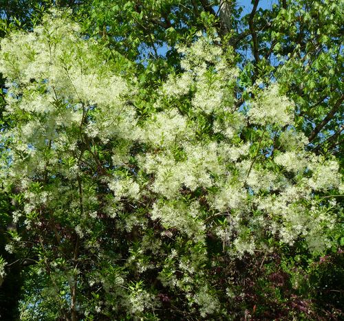 Georgia backyard nature native plants grancy graybeard tree mightylinksfo