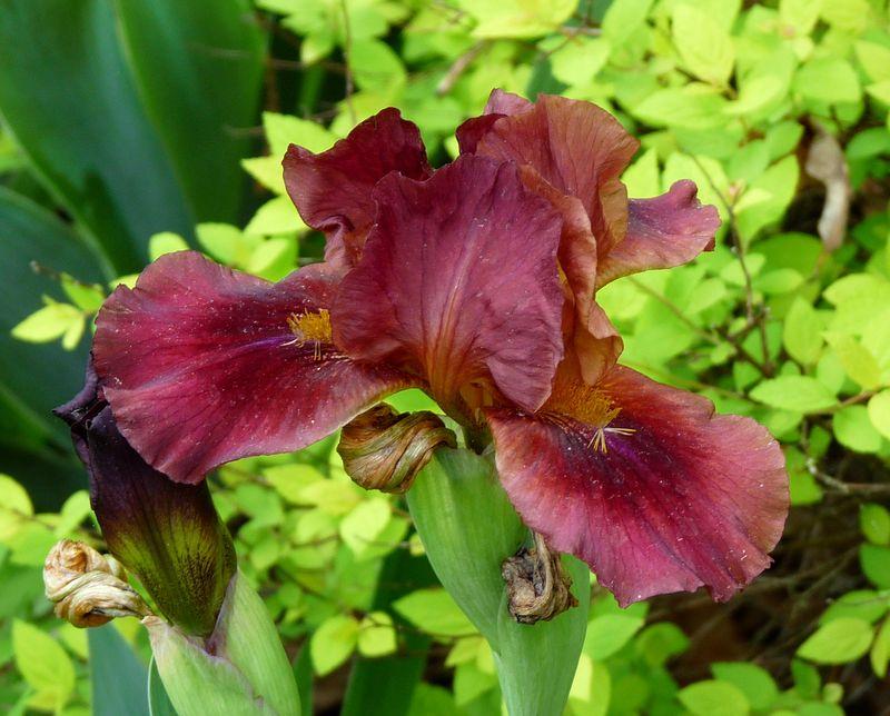 Maroon iris