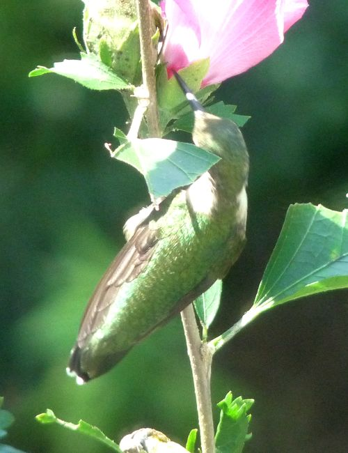 Hummingbird perched on Rose of Sharon