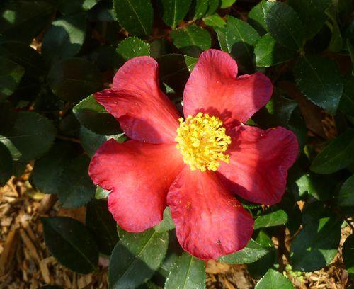 Sasanqua red