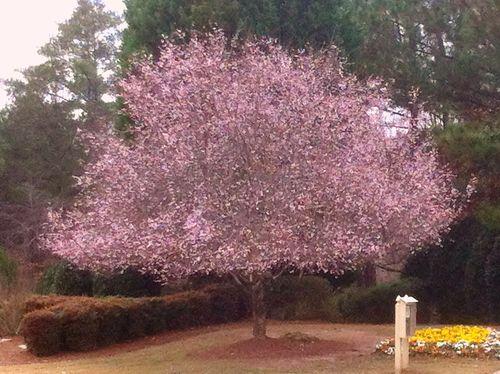 georgia backyard nature christmas cherry tree