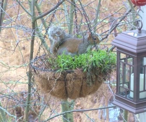 Squirrel in planter
