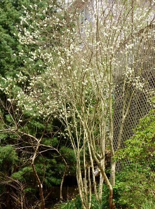 Princess diana serviceberry tree