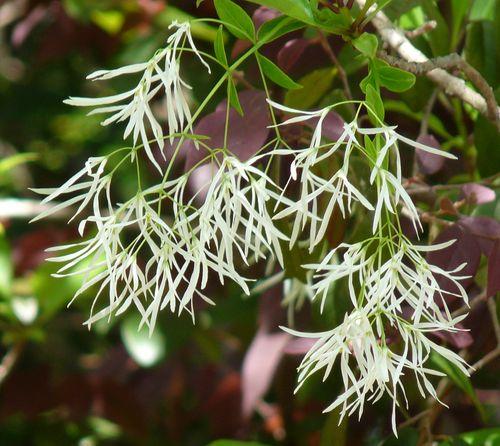 Grancy graybeard flowers