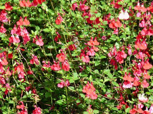 Salvia blooms