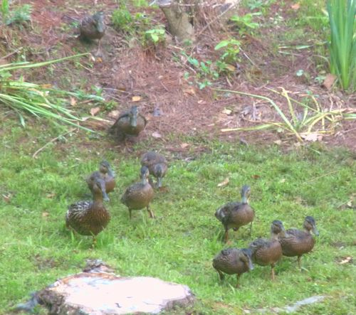 Ducklings running for birdfeeder