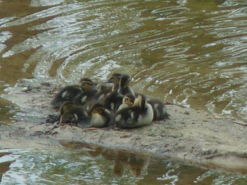 Duckling group