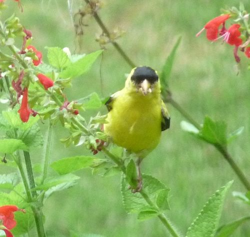 Goldfinch on salvia10
