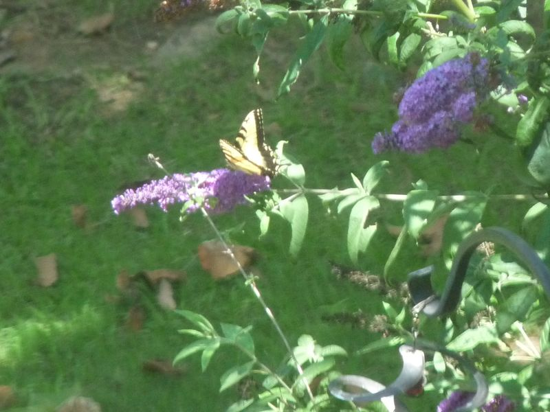 Tiger swallotail on butterfly bush
