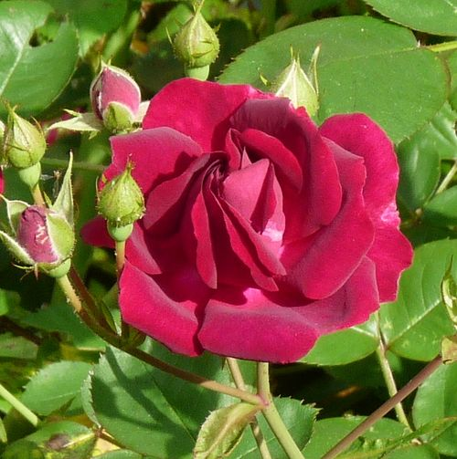 Red climbing rose bloom