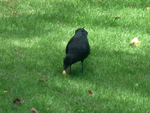 Crow eating turtle egg