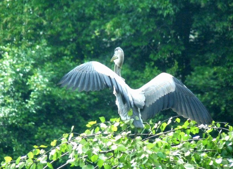 Heron wingspread