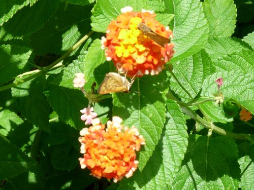 Skipper butterflies on lantana