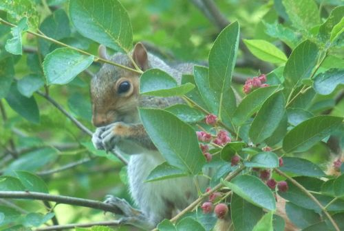 Squirrel in serviceberry