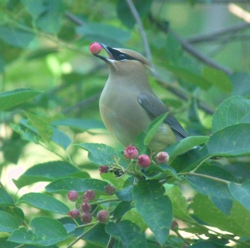 Cedar waxwing with serviceberry