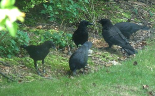 Crows looking for turtle eggs