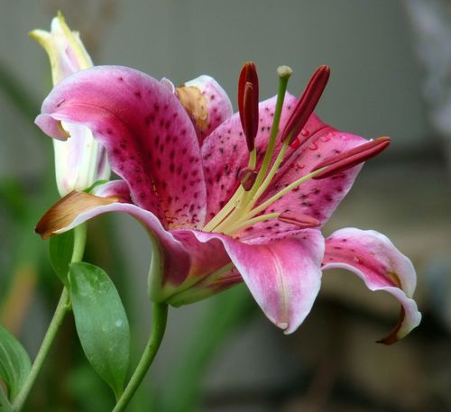 georgia backyard nature stunning stargazer lily, Natural flower