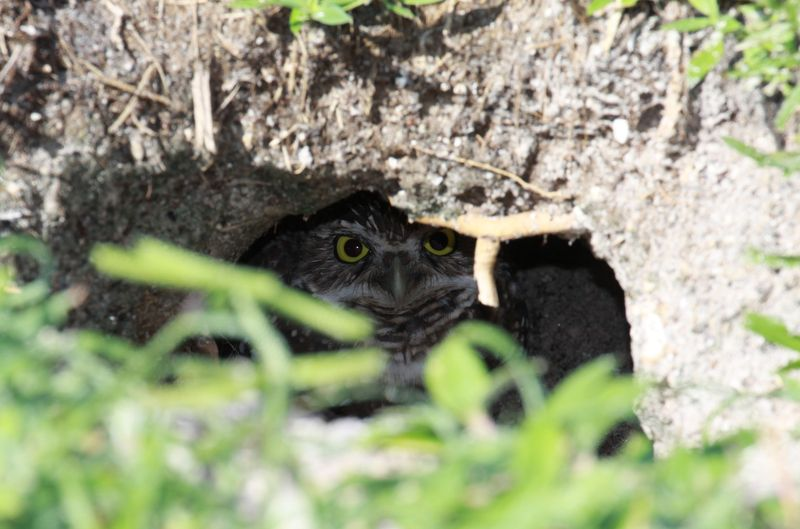 Owl in burrow