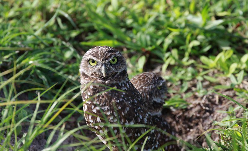 Owl outside burrow