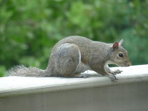Squirrel(1)